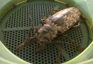 Longicorn: Acanthophorus confinis
