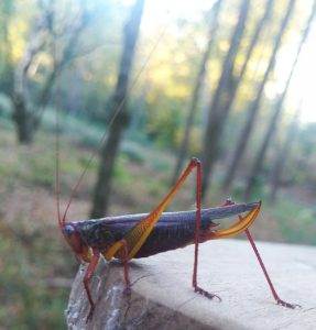 Red Headed Meadow Katydid