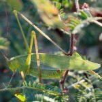 Female Katydid