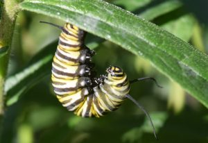 Prepupal Monarch Caterpillar