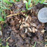 Pleasing Fungus Beetle Larvae