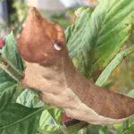 Pluto Sphinx Caterpillar