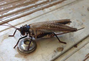 Female Raspy Cricket