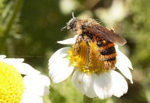 Scarab Hunter Wasp, we believe