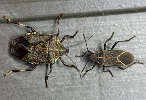 Stink Bug and Western Boxelder Bug