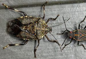 Possibly African Cluster Bug and Western Boxelder Bug