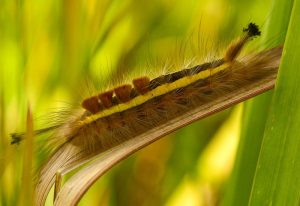 Tussock Moth Caterpillar:  Orgyia species