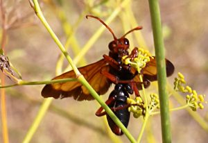 Possibly Paper Wasp