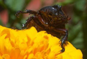 Fork Horned Rhinoceros Beetle