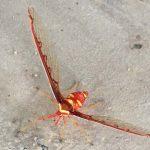 Possibly Derbid Planthopper