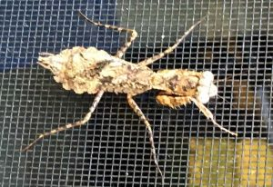 Grizzled Mantis