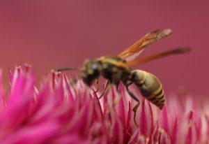 Honey Wasp