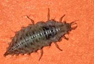 Possibly Lacewing Larva