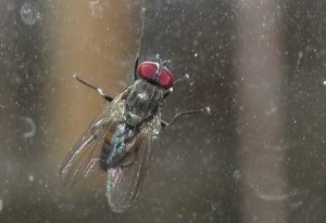 Little House Fly (courtesy of Eric Eaton)