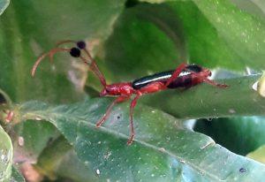 Paromoeocerus barbicornis