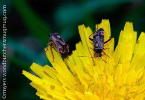 Plant Bugs