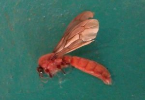 Sausage Fly