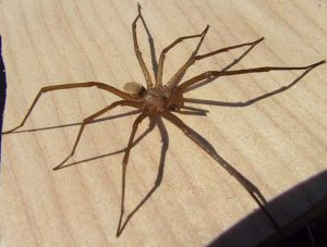 Southern House Spider