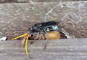 Spider Wasp and Huntsman Prey