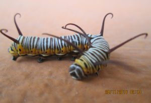 Striped Blue Crow Caterpillar