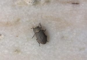 Darkling Beetle, we believe