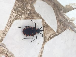 Kissing Bug