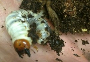 Probably Cottonwood Stag Beetle Grub