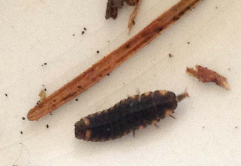 Fireflies and Glowworms Archives - What's That Bug?