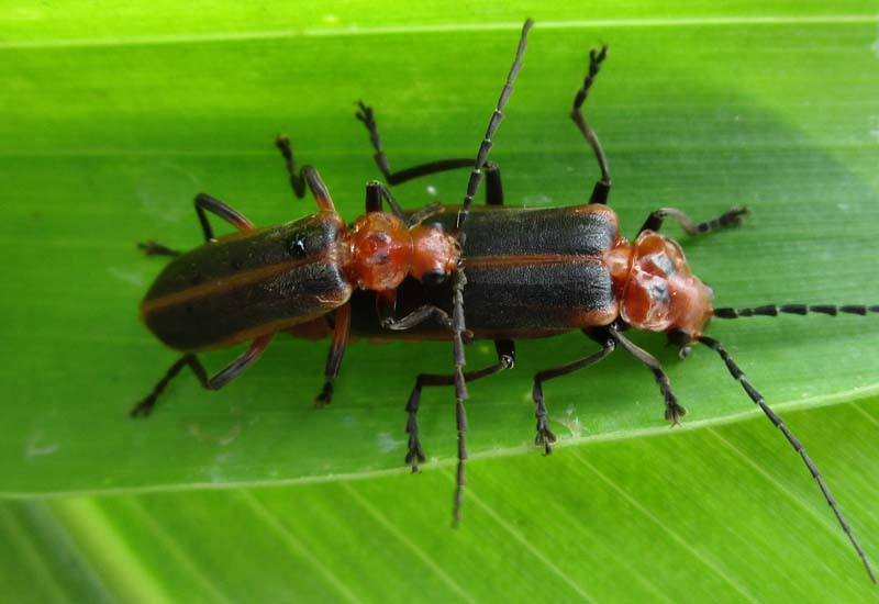 soldier beetles archives whats that bug
