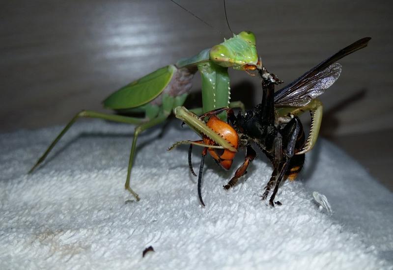 Hornet Vs Praying Mantis 12,000 Year Old Mantis...