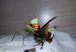 Hornet Vs Praying Mantis Preying Mantis ...