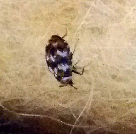 Carpet Beetle. Pantry Beetles  Grain Weevils  Spider Beetles  Meal Worms and
