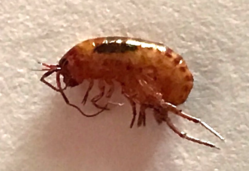 Sow Bugs Pill Bugs Isopods Lawn Shrimp And Amphipods