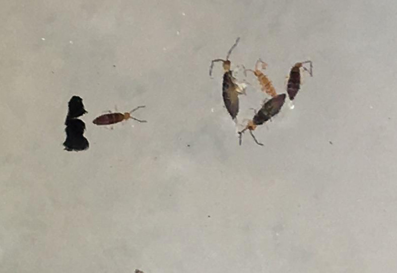 Springtails archives what 39 s that bug Springtails in swimming pools