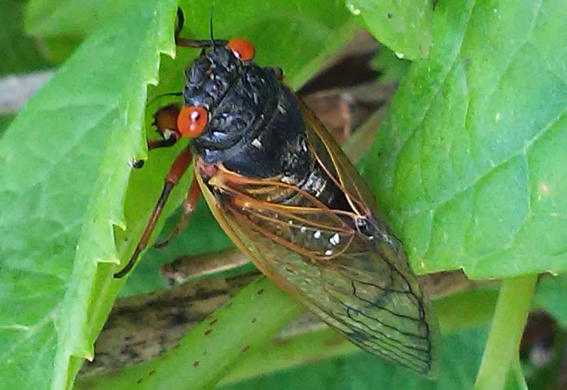 cicada -#main