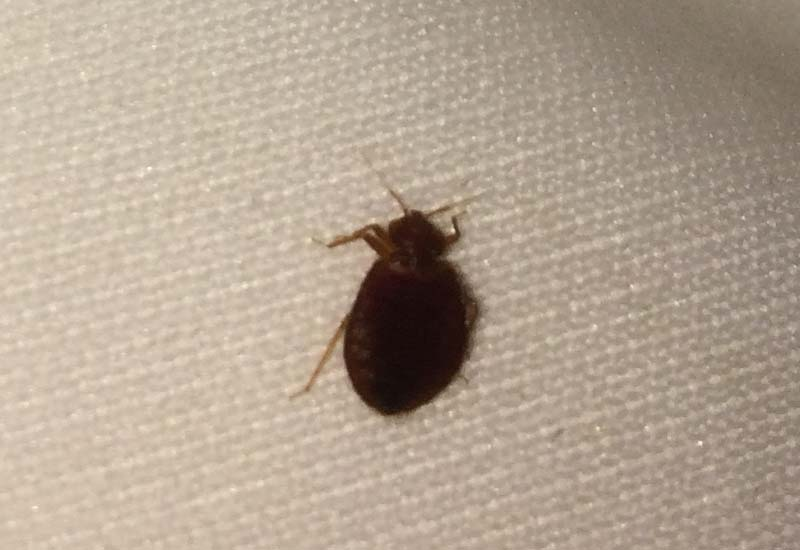 Keep Finding Dead Bed Bugs