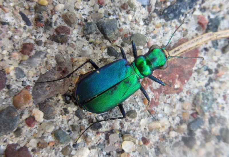 Image result for tiger beetle wi