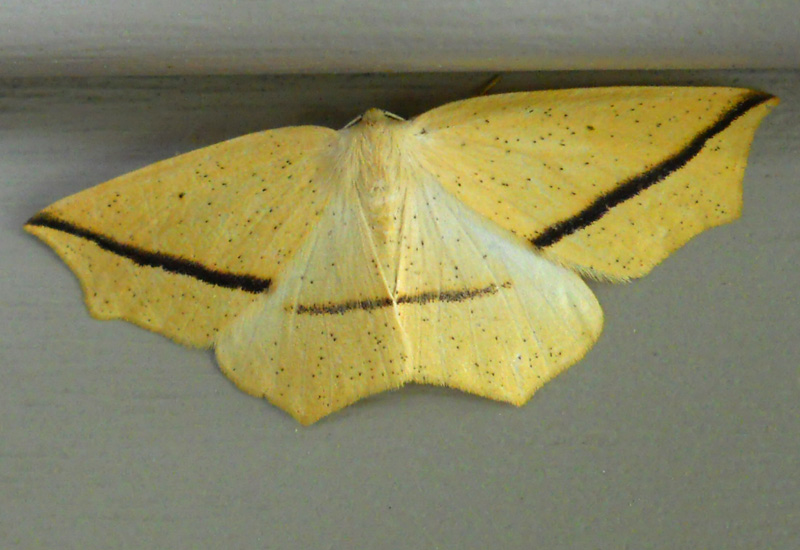 Geometrid Moths Archives What S That Bug