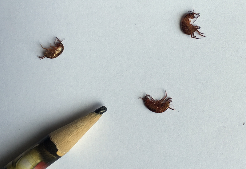 Lawn Shrimp. Sow Bugs  Pill Bugs  Isopods  Lawn Shrimp and Amphipods Archives