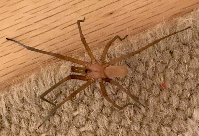 crevice weaver spider archives whats that bug