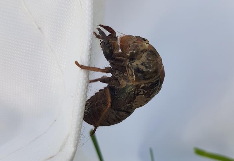 cicada nymph - photo #30