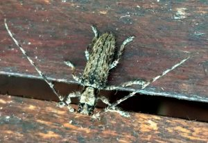 Cerambycidae Canary Island
