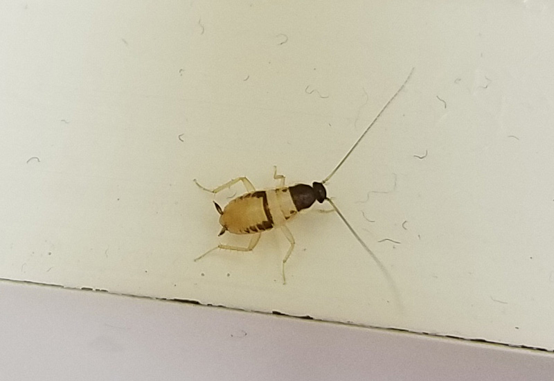 Brown banded cockroach nymph